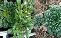 Muốn ăn rau ngon sạch lại đẹp nhà, học ngay cách trồng rau cải xanh hình hoa hồng