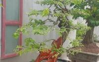 """""""Cụ"""" hoa giấy có tuổi đời gần 90 năm, còi dí mà giá hơn 100 triệu ở Nam Định"""