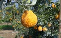 Cam Dekopon hơn 300.000/quả, mọng nước hơn bất cứ loại cam nào khác