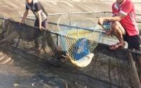 Nuôi cá dày đặc trong lồng nhựa, sau 4 tháng thu 1 tỷ