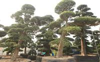 Vườn tùng la hán Nhật nghìn tỷ ở Hà Nội: Mỗi cây giá cả tỷ đồng