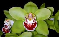 Mất 8 năm nuôi dưỡng và 5 năm đợi nở hoa, giá của loài hoa phong lan này khiến đại gia
