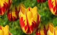 Chiêm ngưỡng loài hoa tulip thuần chủng có nguồn gốc từ thế kỷ 17 giá cực đắt đỏ