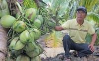 Kiếm bộn tiền nhờ vườn dừa thơm mùi lá dứa, trái chi chít sát đất