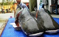"""Những """"thủy quái"""" ở sông Mê Kông từng đưa về Việt Nam"""