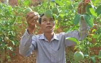 Đổi đời nhờ trồng chanh leo tím
