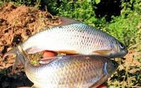 """Loài cá """"báu vật trời ban"""" sống ở một dòng sông duy nhất trên Tây Bắc"""