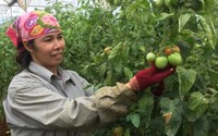 """Chị nông dân vùng cao thu bộn tiền nhờ trồng cà chua trong nhà kính trái sai """"phát hờn"""""""