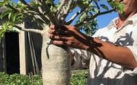 Đam mê hoa, chàng trai Sa Đéc kiếm bộn tiền nhờ tạo ra cây sứ