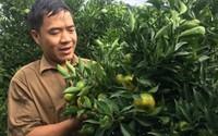 Sống dư dả nhờ trồng 340 gốc cam Canh quả sai cong cả cành phải dùng cột chống