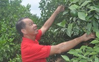 Trở thành tỷ phú nhờ trồng cam canh