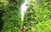 Vườn tiêu xanh mướt 'đu bám' thân dừa, tiền về gấp 2