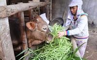 Giá rau xanh giảm đến 50 lần, nông dân đổ cho bò ăn