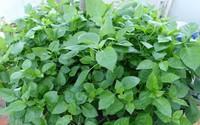 Mách chị em cách trồng rau ngót Nhật nhanh cho thu hoạch, ăn ngon lại siêu bổ dưỡng