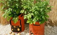 Chẳng cần vườn rộng cũng trồng được hàng cân khoai tây trong túi nilon, bao tải tại nhà