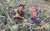 Lão nông người Mông kiếm hàng trăm triệu mỗi năm nhờ dứa