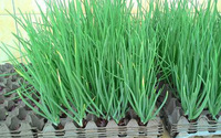 3 cách trồng hành lá tại nhà không cần đất hay chậu