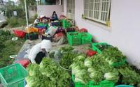 Đắt đỏ xà lách cô rôn Đà Lạt giá 40.000 đồng/kg