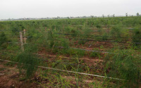 Liều mình trồng cây quý tộc, nông dân 7X cầm chắc 4 triệu/ngày