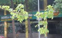 Sức sống mãnh liệt của phong lá đỏ trên đất Hà thành