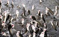 Kỳ diệu đàn cá lóc biết bay giúp chủ nhân thu tiền tỷ từ khách du lịch ở Cần Thơ