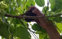 Bảy học sinh lớp 1 ngộ độc do ăn hạt cây ngô đồng