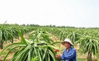 Lão nông thu nhập hàng tỷ đồng mỗi năm nhờ trồng thanh long