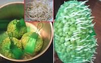 Làm giá đỗ cực nhàn mà siêu sạch, siêu mập, ít rễ chỉ bằng túi đựng hoa quả bỏ đi này