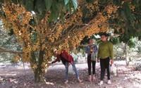 Cho khách vô vườn ngắm cây, bẻ trái, thu 9 triệu đồng/ngày