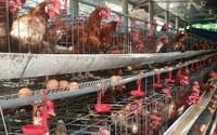 Cho gà siêu trứng nghe nhạc trữ tình, thu nhập 1,5 tỷ đồng/năm