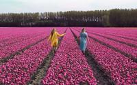 Sửng sốt trước vẻ đẹp choáng ngợp của cánh đồng 7 triệu bông tulip cùng nở rộ ở Hà Lan