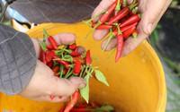Nông dân ngoại ô Sài Gòn trồng ớt thu gần nửa tỷ mỗi tháng