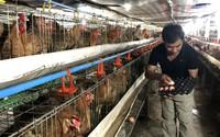 Độc chiêu nuôi gà hiếm có, lão nông thu lãi 1,5 tỷ/tháng