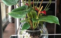 Mẹo chuyển cây cảnh thổ canh sang trồng thủy canh của bà mẹ Hà Nội