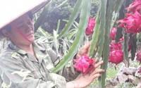 """Chị nông dân """"bỏ túi"""" hơn 100 triệu/năm nhờ trồng thanh long"""