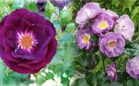 Bật mí cách chăm sóc cây hoa hồng tím quý hiếm