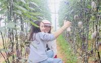 """Phát """"sốt"""" với vườn dưa tím ngắt sai trĩu quả ở Đà Lạt"""