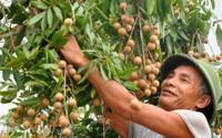 Kiếm chục triệu/vụ nhờ nghề ăn theo mùa thu hoạch quả