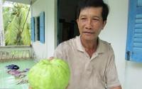 Lão nông thành tỷ phú nhờ trồng giống ổi