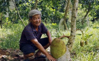 Lão nông lãi 1,5 tỷ đồng nhờ trồng mít