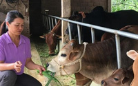 Kiếm bộn tiền nhờ nuôi đàn bò cóc hàng chục con
