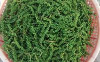 Tác dụng thần kỳ và các cách bảo quản hạt tiêu xanh không phải ai cũng biết