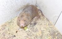 Nuôi đàn chuột không cần uống nước, bán 1,8 triệu đồng/cặp