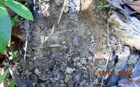 Phát hiện dấu vết nghi bò tót xuất hiện ở rừng Quảng Trị