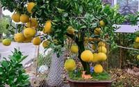 Bưởi bonsai giá chỉ vài triệu đang hút khách chơi Tết