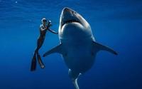 Bơi cùng cá mập trắng dài 6 m để kêu gọi bảo vệ 'sát thủ' đại dương