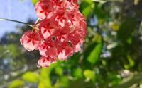 Vườn cẩm cù 10.000 cây đủ loại rực rỡ khoe sắc của cô giáo Hà Nội