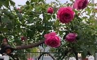 Người phụ nữ tận hưởng hạnh phúc trọn vẹn bên vườn hồng trên cao giữa lòng Hà Nội