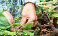Chi 120.000 đồng/ngày, thủ phủ mai vàng 'chiêu mộ' người vặt lá