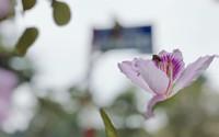Vẻ đẹp đến nao lòng của hoa ban Tây Bắc giữa lòng Hà Nội